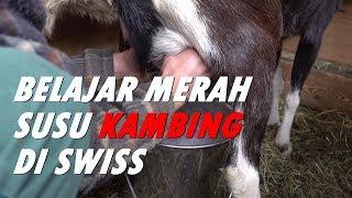 Belajar memerah susu dari peternak Sapi di Swiss