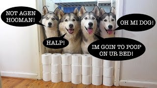 THE TOILET PAPER ROLL CHALLENGE WITH MY 4 SIBERIAN HUSKIES! (HILARIOUS DOG REACTIONS)