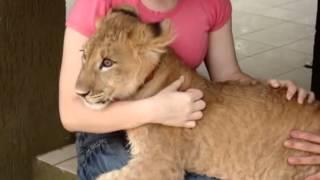 The hug Ariel the lion - O abraco do leao Ariel.