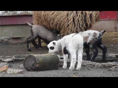 Staten Island Zoo welcomes four new cute baby lambs