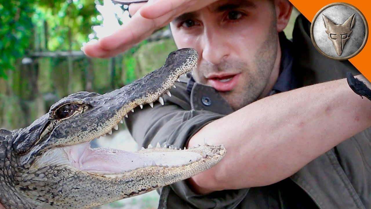 alligator bite youtube
