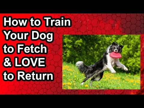 how-to-train-your-dog-to-fetch-&-love-to-return-the-toy-back