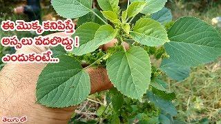 ఈ మొక్క కనిపిస్తే అస్సలు వదలొద్దు! ఎందుకంటె..|| #kuppintaku(acalypha indica) plant uses in telugu