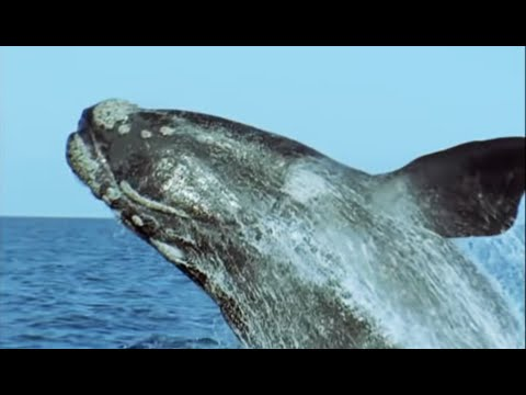 Breeding Southern Right Whales | Attenborough | Life of Mammals | BBC