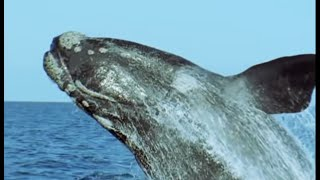 Breeding Southern Right Whales - Attenborough - Life of Mammals - BBC