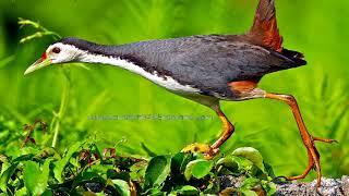 Tiếng chim quốc mồi cực chuẩn, chuyên đi bẫy
