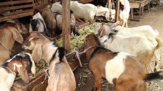 Video Pasar Kambing (Goat Market), Jakarta, Indonesia download MP3, 3GP, MP4, WEBM, AVI, FLV Oktober 2017