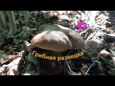 Белый гриб, поддубники и  лисички. Грибы 2019.
