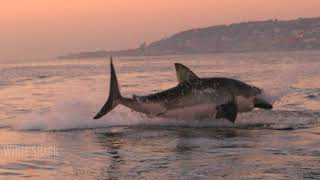 GREAT WHITE SHARK BREACH!