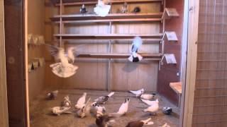 Иранские бойные голуби Высоколётные Бойные Персы