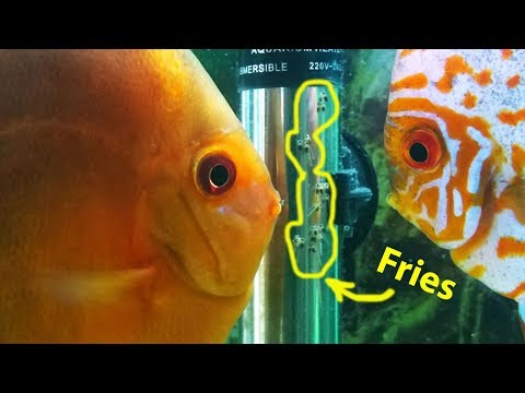 Discus Fish Eggs Hatched (Discus Breeding Pair Confirmed)
