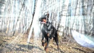 Не называй его псом! Доберман.СВХ МонтмоРЕНСи