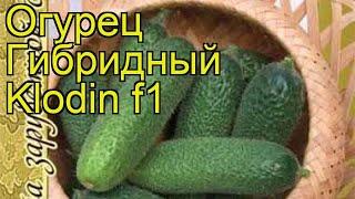Огурец гибридный Клодин f1. Краткий обзор, описание характеристик, где купить семена Klodin f1