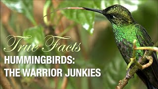 True Facts: The Hummingbird Warrior