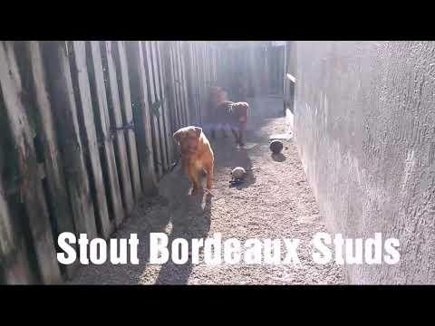 Big French Mastiff aka Dogue de Bordeaux!