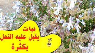 نبتة اكليل الجبل وفوائدها للنحل تزهر في فصل الربيع والخريف