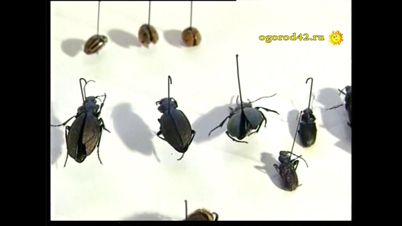 жуки плавунцы ловить