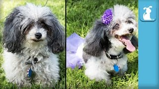 Poodle Gets Asian Freestyle Transformation Makeover - The Beauty of Pets
