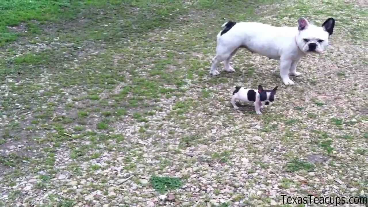 Tiny Teacup French Bulldog Youtube