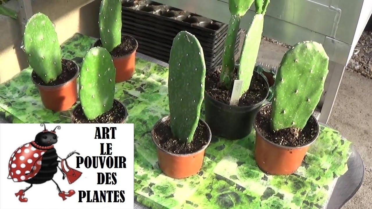 tuto jardin: figuier de barbarie: comment faire une bouture: plantes