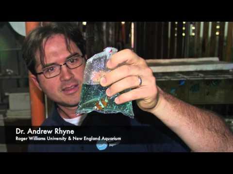 The Trade in Saltwater Aquarium Fishes: Philippines Part 3