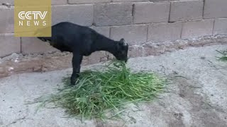Disabled but determined: goat learns to walk on forefeet