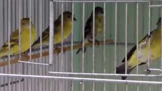 Pintassilgos - Filhotes de pintassilgo Carduelis magellanicus