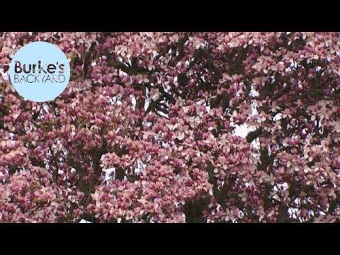 Burke's Backyard, World's Biggest Magnolia, NZ