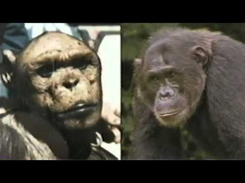 Famous Local Chimp Dies -- Cynthia Lee - YouTube
