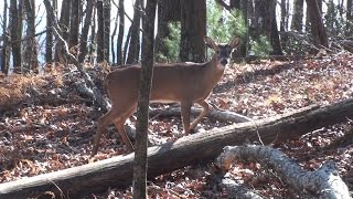 North Carolina public land deer hunt 2012