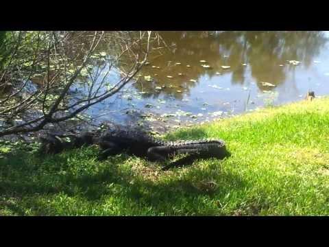 Alligator vs. Snapping Turtle at Lake Alice Gainesille, Fl University of Florida 10/2/13