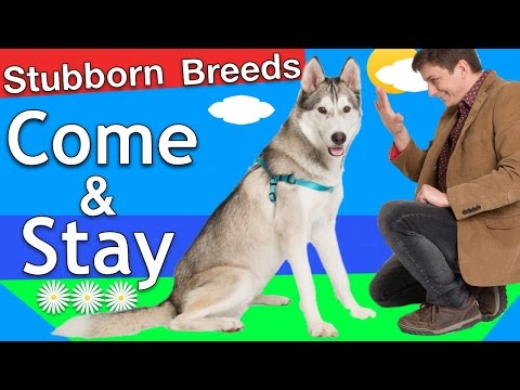 How to train Come and Stay to a 'Stubborn Breed' Dog