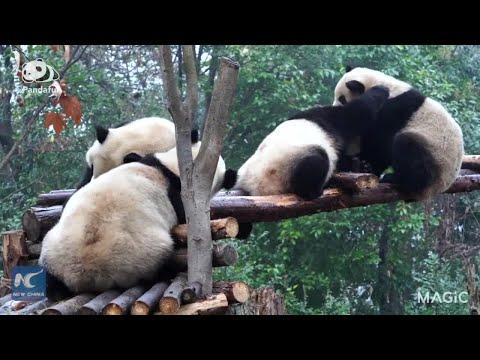 "When four giant pandas meet on a crowded enclosure ""bridge"""