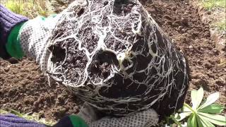 Planting Lupins - Allotment Grow How