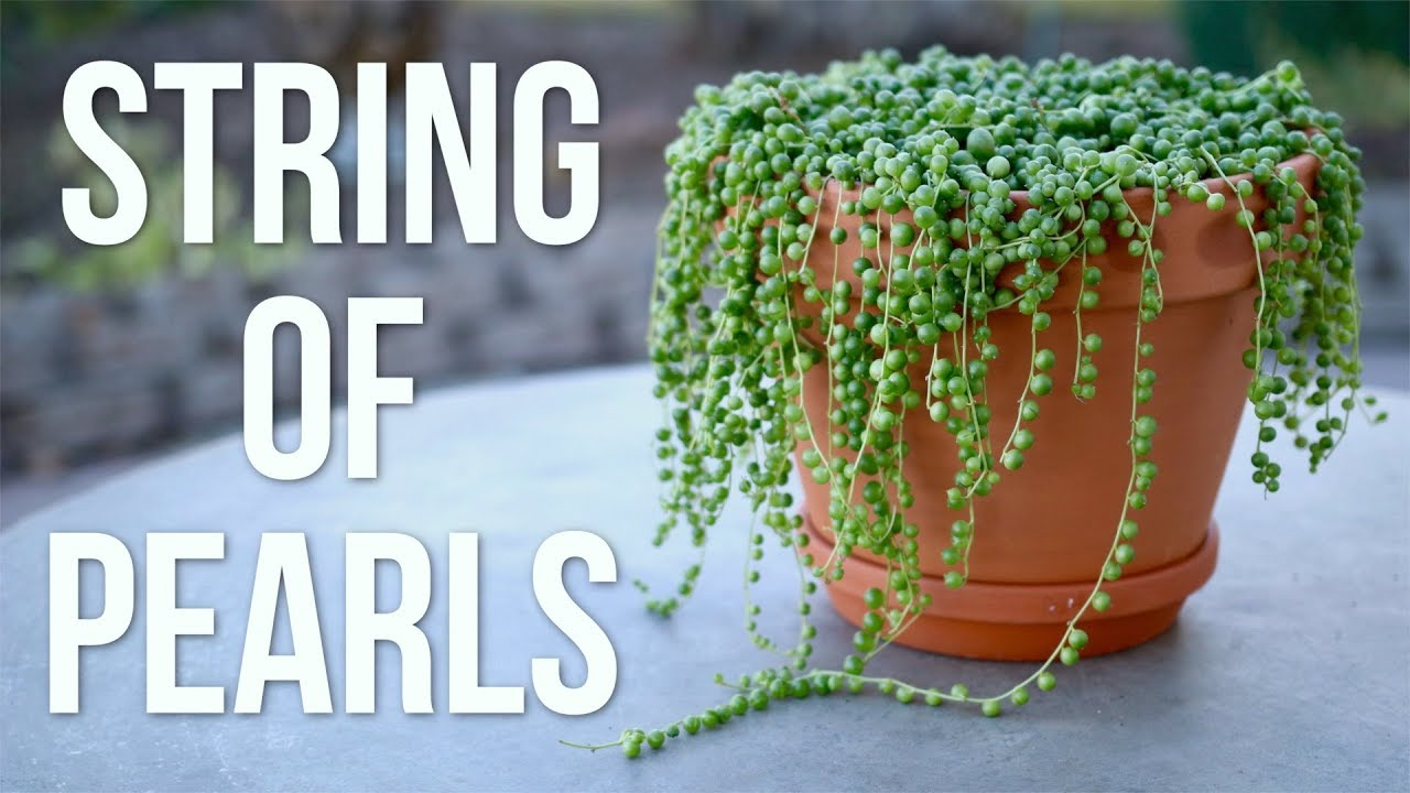 Delicieux String Of Pearls Care Guide // Garden Answer