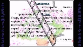 Пеларгония (Герань) УХОД