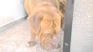 Dogue De Bordeaux Eating Ice