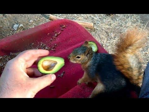 Sincapların siyah avokado ile imtihanı