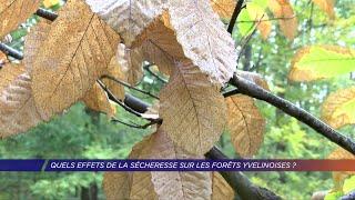 Yvelines | Quels effets de la sécheresse sur les forêts yvelinoises ?