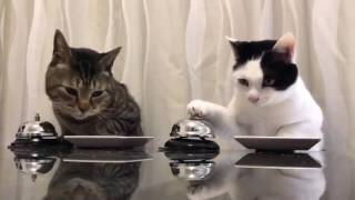 Cats asking for food... Ding! 2017 Video