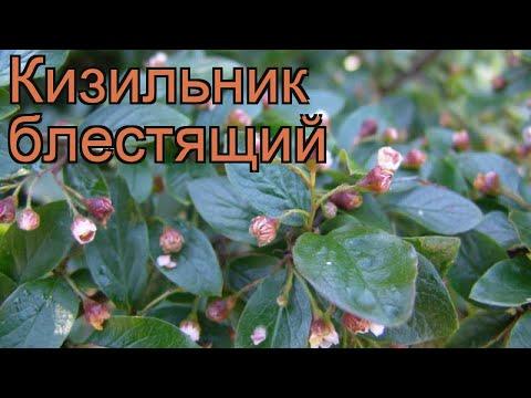 Кизильник блестящий (cotoneaster lucidus) 🌿 кизильник обзор: как сажать саженцы кизильника