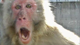 サルは自分より弱い者を攻撃するようです。その他の動画はこちら(動画...