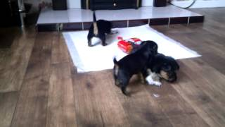 Yorkshire Terrier And Jack Russell Puppies 3 Weeks Old