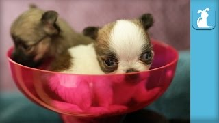 3 Week Old Chihuahua Puppies In Margarita Glass!  - Puppy Love