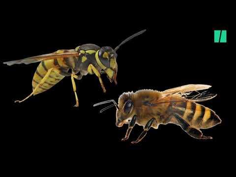 abeille et de gu�pe combat à mort entre une guêpe et une abeille !!!