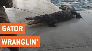 Huge Alligator Caught Swimming in Pool | Florida Gators