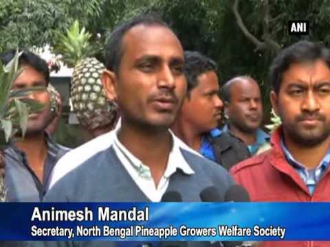 Pineapple farmers face export crisis in Bidhannagar