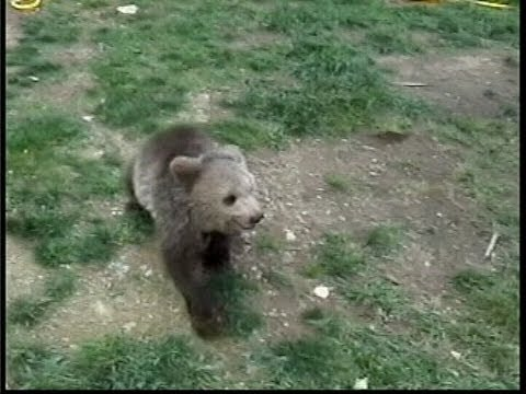 GRIZZLY BEAR CUB attacks WOLF PUP