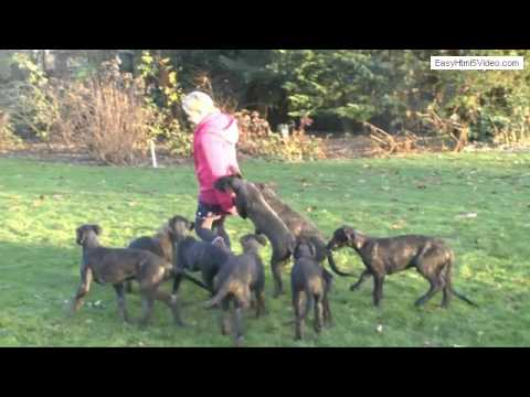 Amazing Deerhound litter v.d. Flevomare  Deerhounds - week 11