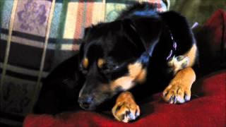 Dog Sleeping On A Pillow (min Pin Mix) [luna]